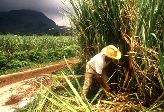 Estudian estrategias sustentables para el cultivo de caña de ...