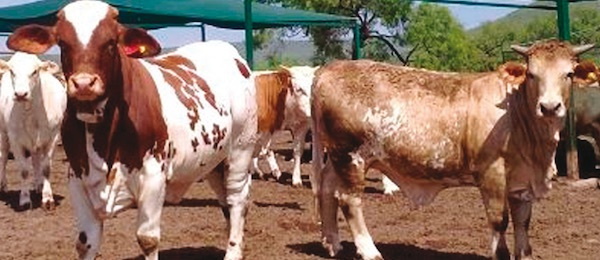 uso del clenbuterol linear unit bovinos